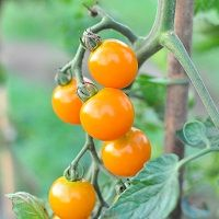 ミニトマト(橙)